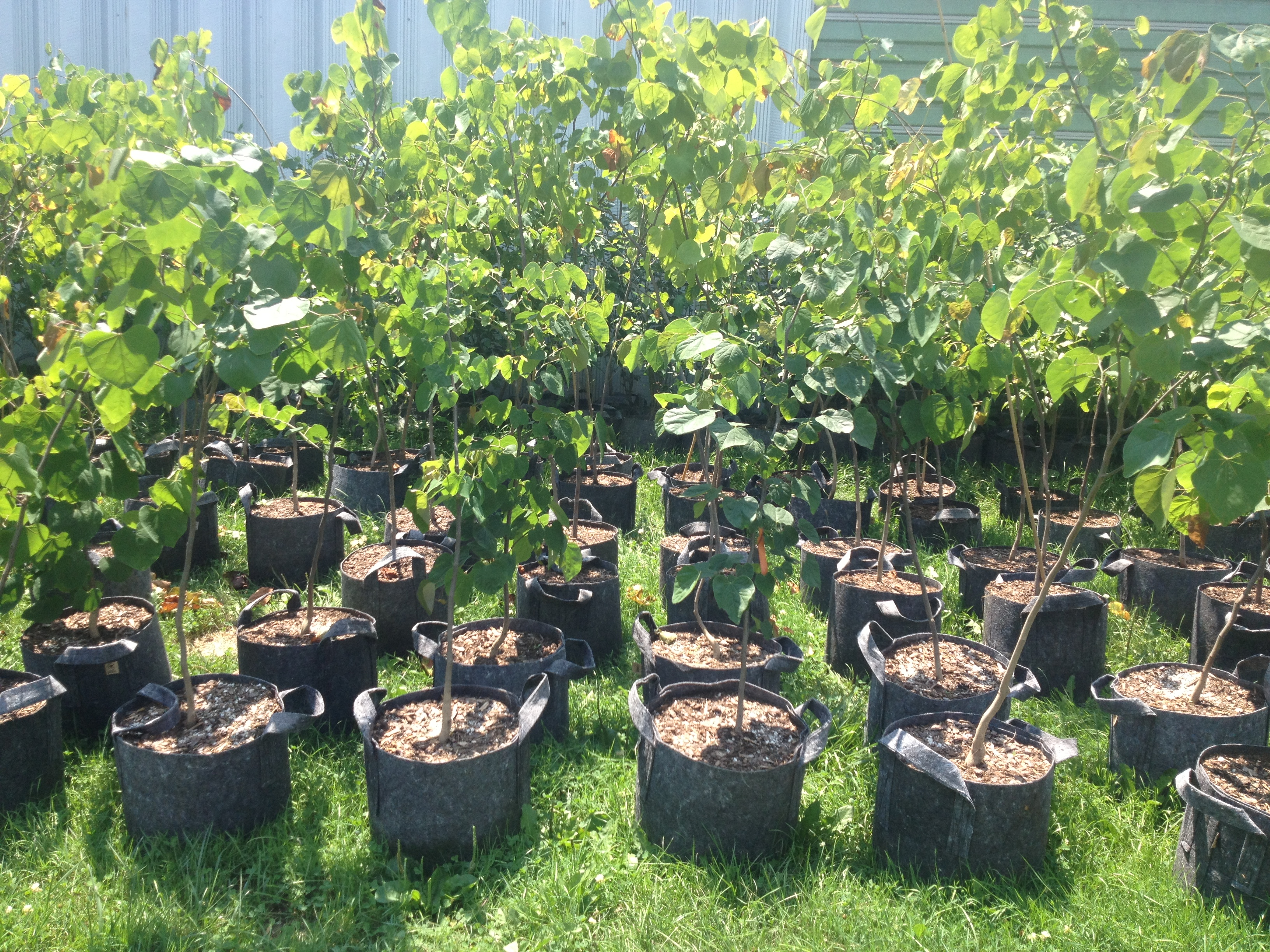 Tree Authority nursery visit 7.16 (1)