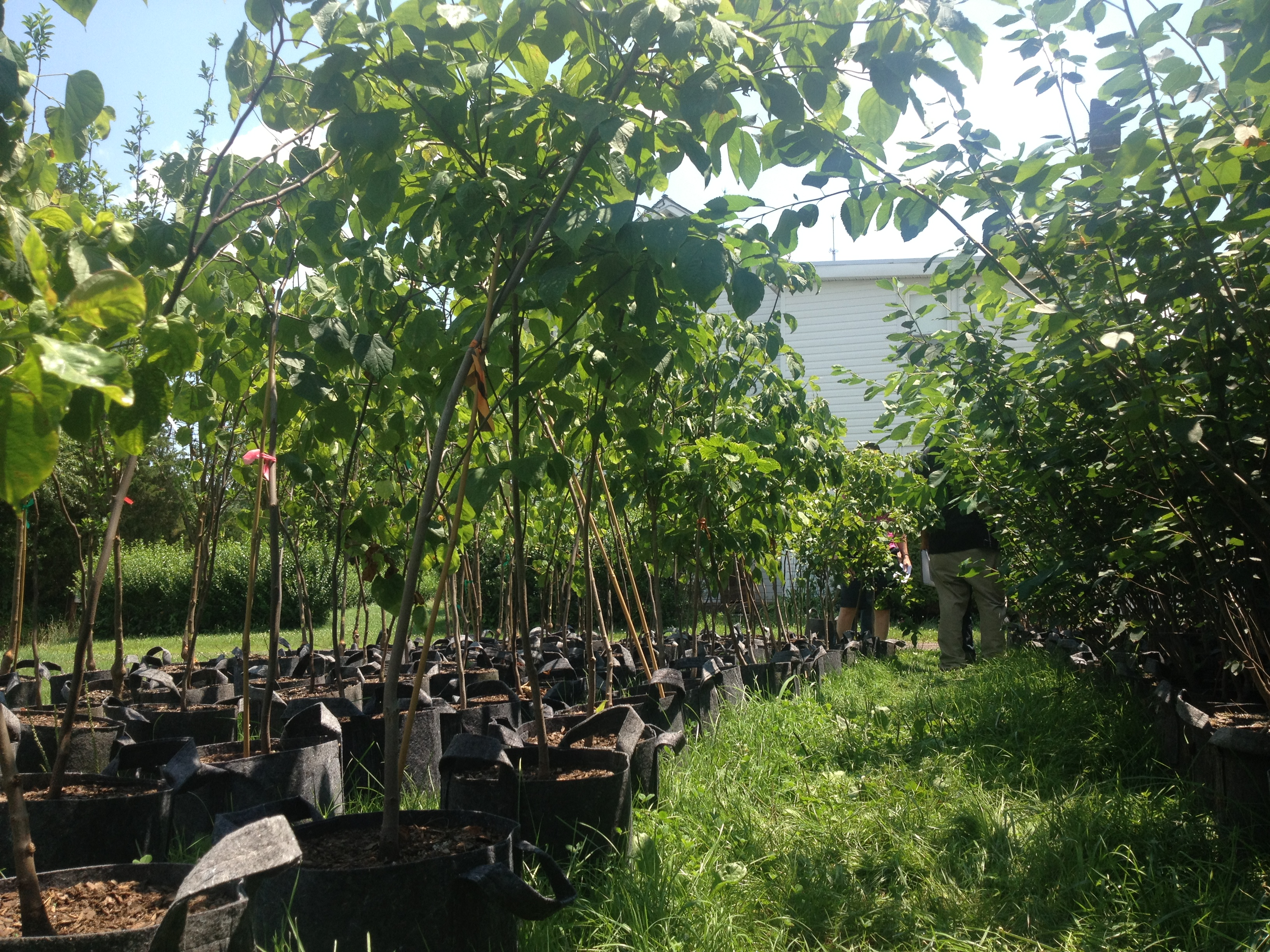 Tree Authority nursery visit 7.16 (5)