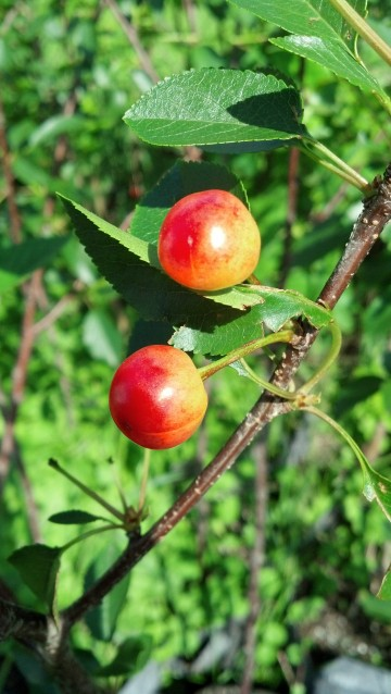 Montmorency Fruit (2)