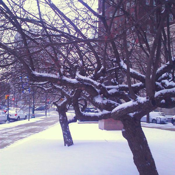 snowy apple trees - web